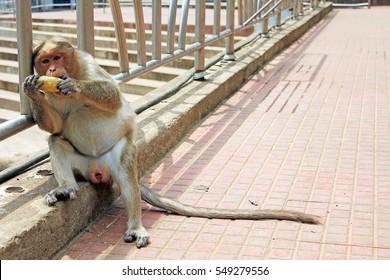 Monkey having mango, a snap taken from a South Indian Village