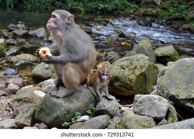 Monkey and the infant around the hiking trail in Wulingyuan scenic area. Greenies everywhere and river along the path! Pic was taken in Zhangjiajie, September 2017