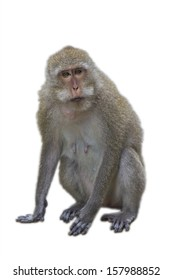 The monkey isolated against a white background.