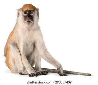 Monkey, Isolated, Animal.
