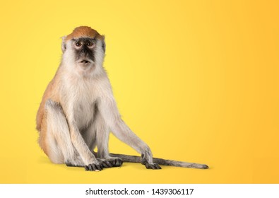 monkey isolated on  white background