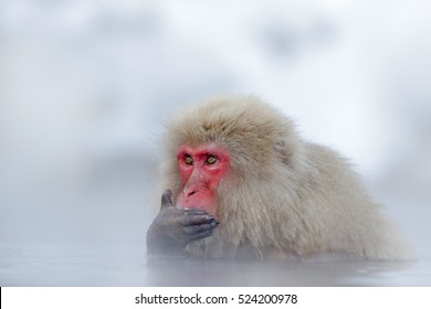 Monkey Japanese macaque, Macaca fuscata, red face portrait in the cold water with fog and snow, hand in front of muzzle, animal in the nature habitat, Hokkaido, Japan.