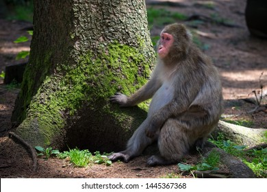Monkey (japanese macaque) sitting on the tree root in shade in Affenberg park, Villach, Austria