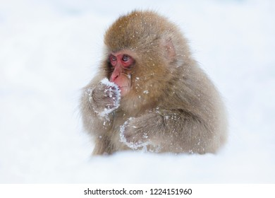 Monkey of Jigokudani hot spring in Nagano prefecture of Japan. It is called a snow monkey because it enters a hot spring on a cold day when it snows