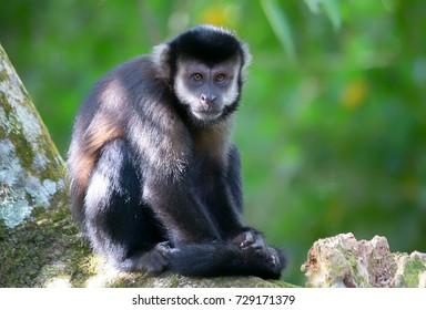 A monkey in the jungle. New world primate from Brazilian rainforest. Sapajus apella or Sapajus libidinosus.The tufted capuchin, also known as brown capuchin, black-capped capuchin, or pin monkey.