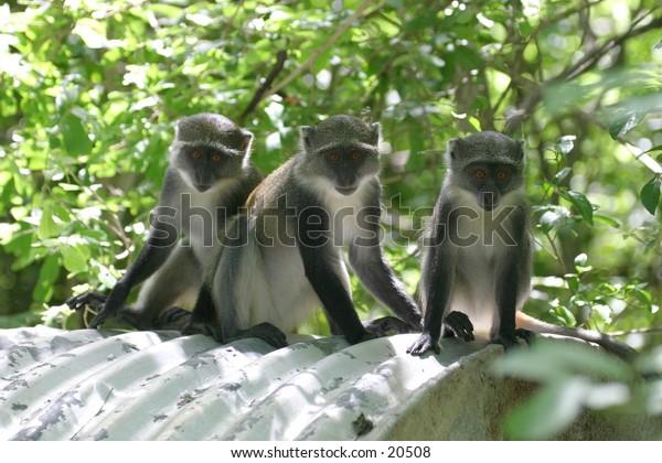 Monkey Kids Watching