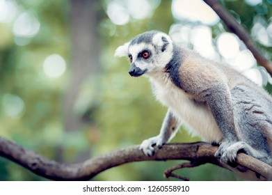 Monkey, lemur maki catta