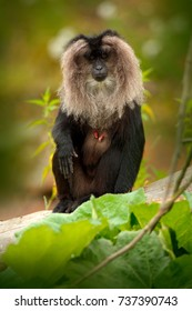 Monkey Lion-tailed Macaque, Macaca silenus, animal in green tropical forest habitat. Endemic animal to the Western Ghats hill ranges, India, Asia.