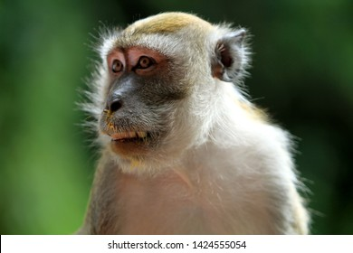 monkey lives in a natural forest of malaysia.