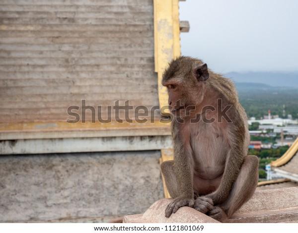 Monkey living at pagoda on the top of Khao Chong Krachok, Prachuap Khiri Khan, Thailand.