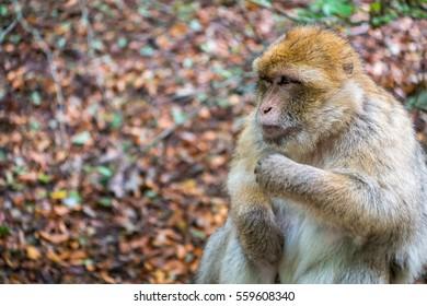 A monkey looking grumpy sitting in the forest