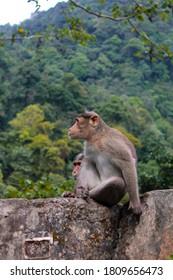A monkey looking at nature,Attappadi,kerala state, India, 1/9/2020