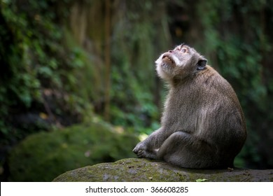 Monkey looking up sitting on mossy rock at monkey forest - Ubud, Bali, Indonesia