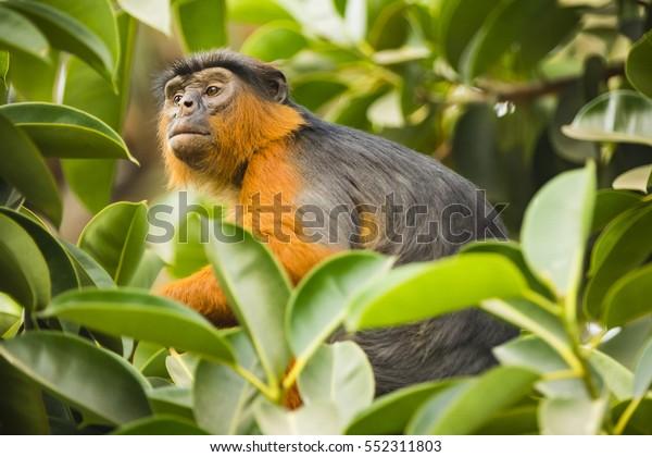 monkey looking through leaves