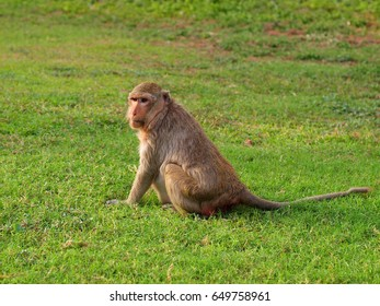 Monkey at Lopburi, Thailand