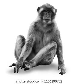 monkey macaca (Macaca sylvanus) isolated on white background