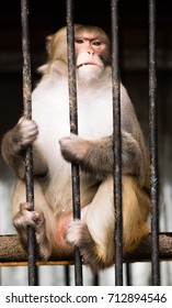 monkey macaque in a cage