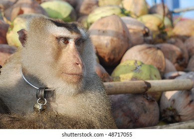 Monkey Macaque Coconut Absent