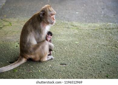 Monkey - macaque rhesus