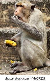 Monkey (Macaque rhesus) close-up to eat banana
