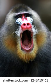 Monkey mandril open mouth, monkey mandril, Mandrillus sphinx, face of mandril
