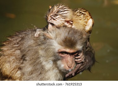 Monkey mother with baby