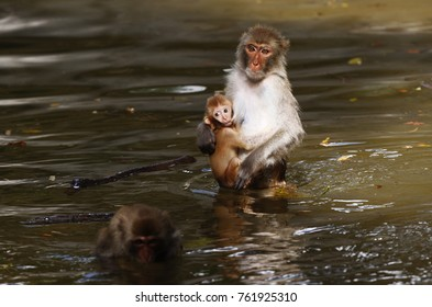 Monkey mother with baby breast feeding
