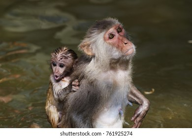 Monkey mother and baby in the pound swimming