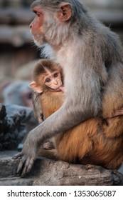 Monkey mother breast-feeding her baby near the temple in Kathmandu, Nepal. Monkeys in Kathmandu. Nepal. A small cute monkey being fed in Monkey Temple, Kathmandu, Nepal