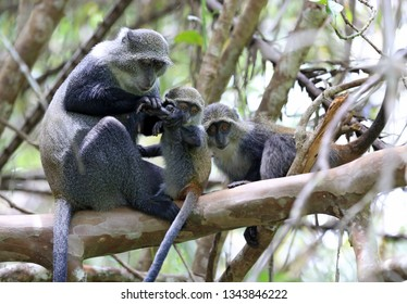 monkey mother examines paw her baby in jungle