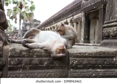 Monkey mother is laying down for her son kill and get rid of lice in Angkor Wat ,Siem Reap, Cambodia