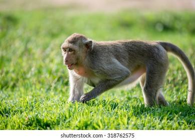 Monkey on grass field