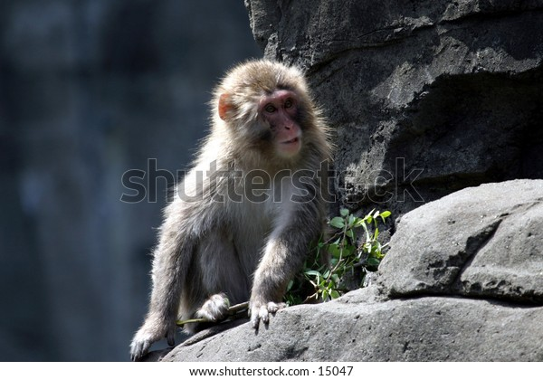 monkey on hind quarters on rock ledge