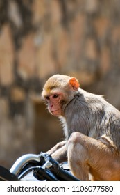Monkey on a motorbike in Jaipur, India