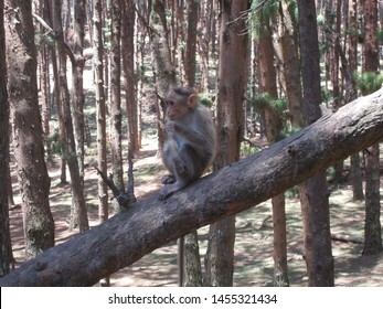 Monkey on a pine tree in a forest in mountains near Kodaikanal India