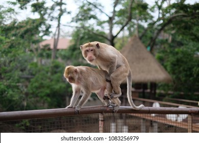 Monkey is on reproducing