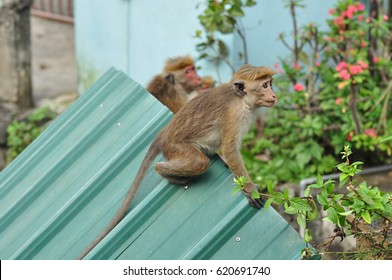 Monkey on the roof of the house in the wild nature of Asia. The monkey sitting on a balustrade and looking away