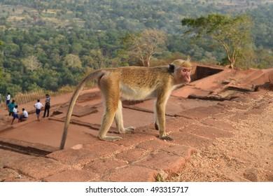 Monkey on top of Sigiriya rock, Sri Lanka