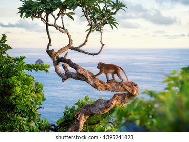 Monkey on the tree. Animals in the wild. Landscape during sunset. Kelingking beach, Nusa Penida, Bali, Indonesia. Travel - image