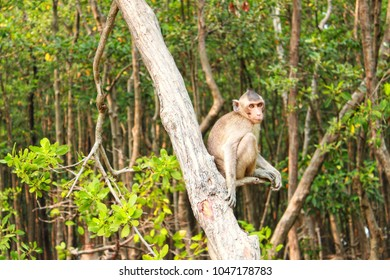 Monkey on the tree, Monkey sitting on the Avicennia alba.