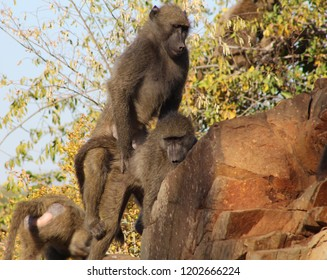 Monkey Pic Of Two Baboons Mating On A Rock In Kruger South Africa With Pale Blue Sky Background - Image