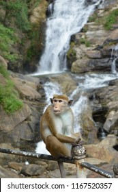 Monkey potrait against a waterfall background in Sri Lanka. Monkey: Toque Macaques (Macaca sinica), Waterfall:  Ravana Falls, Sri Lanka.