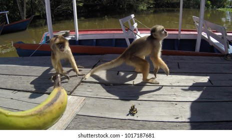 Monkey Prego in the Amazon interacting with tourists