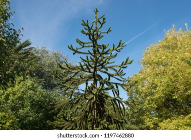 Monkey Puzzle Tree (Araucaria araucana) in a Woodland Garden with a Dramatic Bright Blue Sky Background in Rural Devon, England, UK