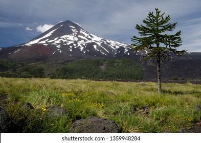 Monkey puzzle tree (Araucaria araucana) and Llaima volcano. Conguillio National Park. Araucania Region. Chile.