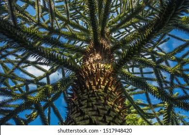 Monkey puzzle tree (Araucaria araucana) at  East Lothian, Scotland.