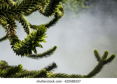 Monkey puzzle tree (Araucaria araucana) on the mist background