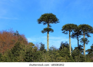 Monkey puzzle tree, araucaria araucana, Patagonia, Chile South America
