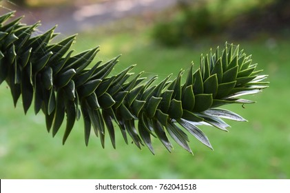 Monkey puzzle tree, Araucaria Araucana, close up branch