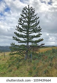Monkey Puzzle Tree in Country Landscape with cloudy sky background